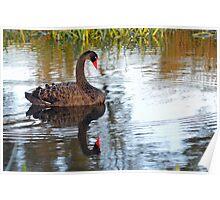 Black Swan At Keysborough Wetlands, Victoria, Australia.  Poster