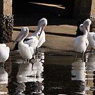 Pelicans  by julie anne  grattan