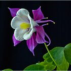 Rescued Aquilegia by J-images