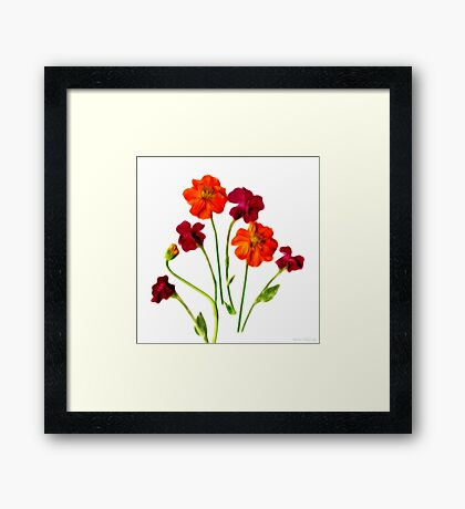 Kathie McCurdy Rose Campion and Cosmos Orange Flowers Framed Print