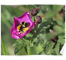 Wild Rose Bee Poster