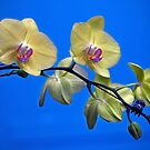 Yellow Orchids by Savannah Gibbs