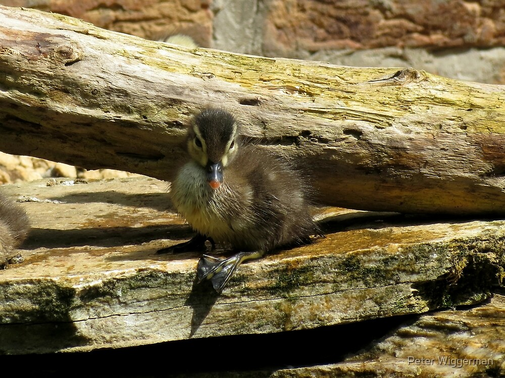 Baby duck chilling in the sun by Peter Wiggerman