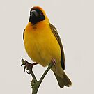 A masked weaver bird by jozi1