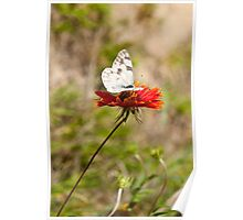White Butterfly On Firewheel Poster