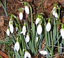 snowdrops in the dusk by pauladolphins