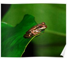 Tree Frog Portrait #1. Poster