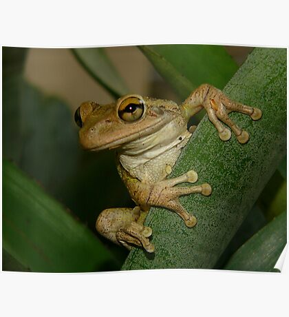 Tree Frog Portrait #2. Poster
