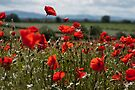 Poppy Field by Matt Sillence