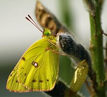 Cloudless Sulphur by Sian Houle