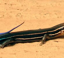 Five Lined Skink. by chris kusik
