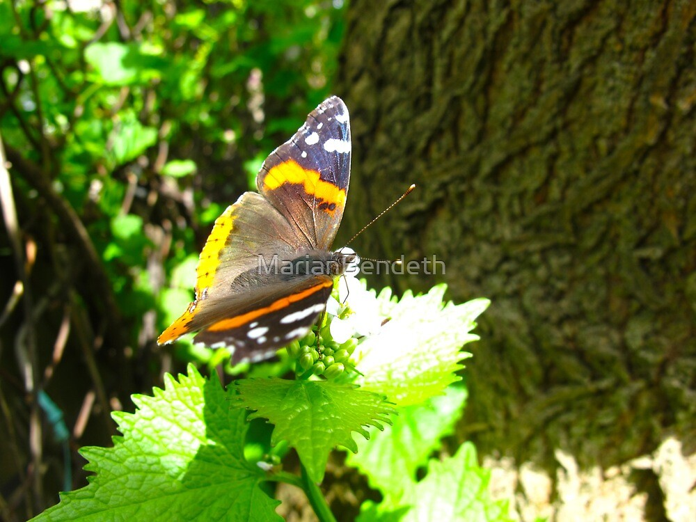 Red Admiral on shore leave by MarianBendeth