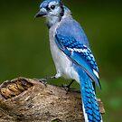 Stumped Blue Jay by Daniel  Parent