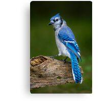 Stumped Blue Jay Canvas Print