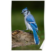 Stumped Blue Jay Poster