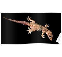 Mediterranean Gecko. Poster