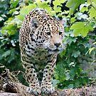 Jaguar by John Nelson