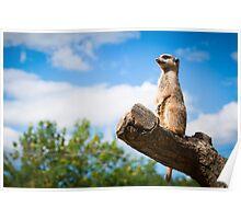 Meerkat @ London Zoo Poster