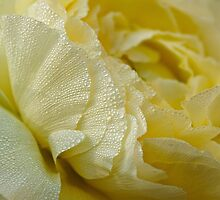 Dewy petals greet the morning sun by Celeste Mookherjee