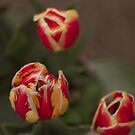 Red and yellow tulips  by Michelle Lia