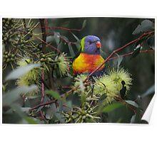 Rainbow Lorikeet (Trichoglossus haematodus), Wittunga Botanic Garden Poster