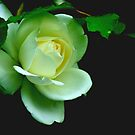 White Rose by Chris1249