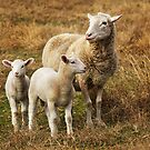 Sheep at Grenfell by Darren Stones