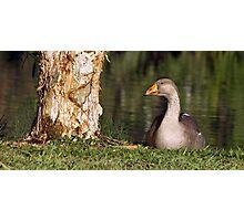 Goosey, goosey, gander Photographic Print