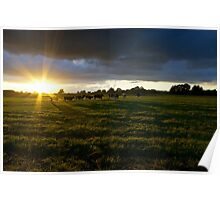 Sunset Cows  Poster
