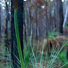 Grass Tree (Xanthorrhoea) by Jordan Miscamble