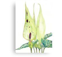 Arum maculatum (Lords and Ladies) Canvas Print