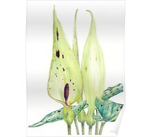 Arum maculatum (Lords and Ladies) Poster