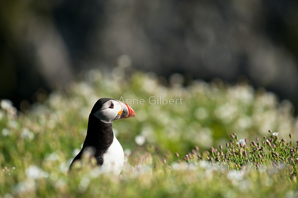 Puffin in Sea Campion by Anne Gilbert