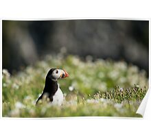 Puffin in Sea Campion Poster