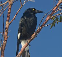 Currawong by fotoWerner