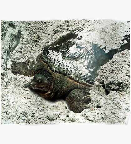 Nesting Softshell Turtle #1. Poster