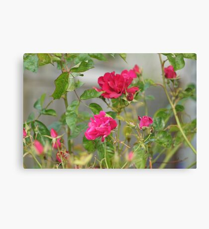 Red Roses in Crown Hill Canvas Print