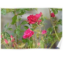 Red Roses in Crown Hill Poster