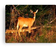 White-Tailed Deer Portrait #2. Lake Kissimmee S.P. Canvas Print
