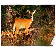 White-Tailed Deer Portrait #2. Lake Kissimmee S.P. Poster