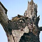 Raccoon Portrait. Lake Marion Creek W.M.A. by chris kusik