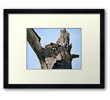 Raccoon Portrait. Lake Marion Creek W.M.A. Framed Print