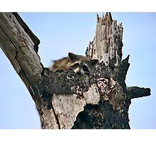 Raccoon Portrait. Lake Marion Creek W.M.A. Photographic Print