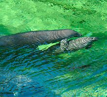 Manatee Family. Blue Spring S.P. by chris kusik