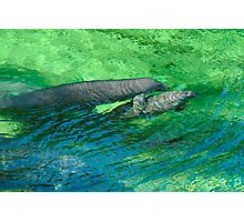 Manatee Family. Blue Spring S.P. Photographic Print