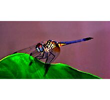 Blue Dasher Portrait #1.  Photographic Print