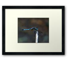 Blue Dasher Portrait #2. Framed Print