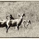 Bighorn Sheep Trio by Tracy Riddell