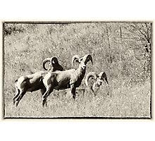 Bighorn Sheep Trio Photographic Print