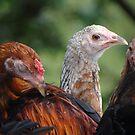 Don't Call Me Crazy Chicken!!! - No Me Nombran Gallina Loca by Bernhard Matejka